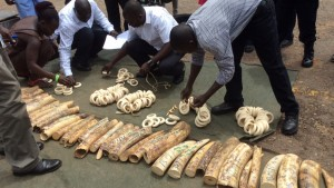 Ugandan authorities counting confiscated ivory and   bungles at Entebbe Inyternational Airport