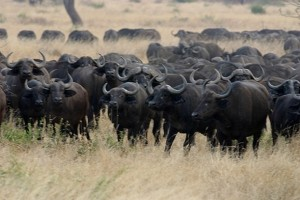 buffaloes-in-Africa